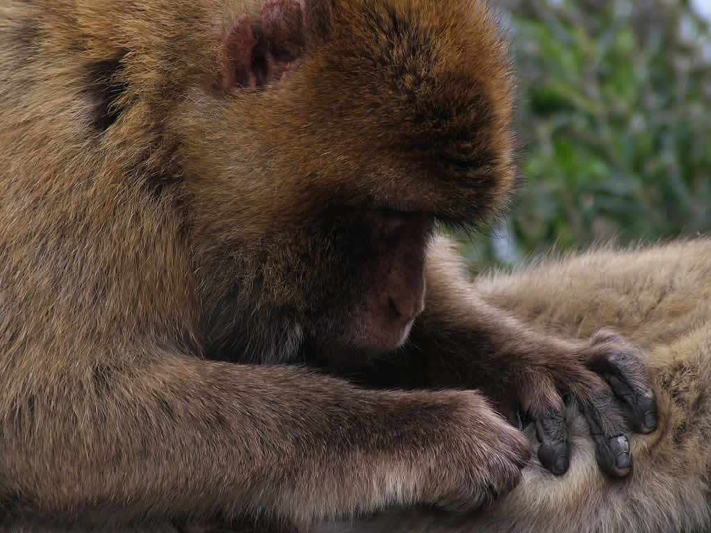 Photo: Barbary Macaques, Gibraltar