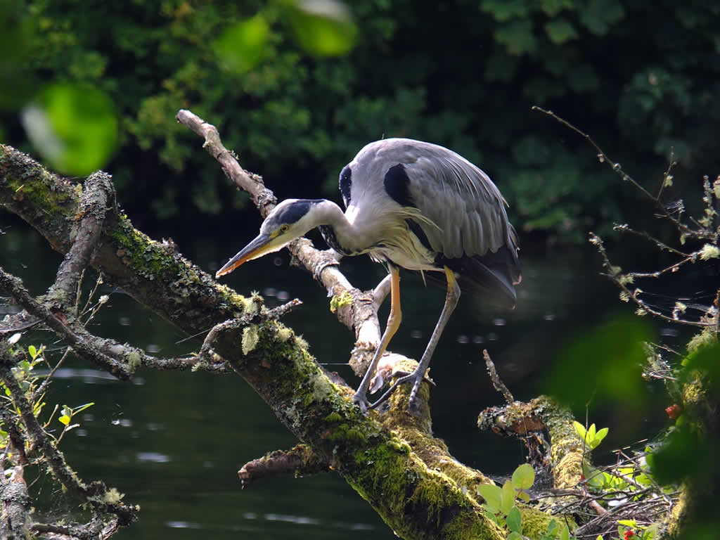 Photo: Heron, Ness Islands, Inverness