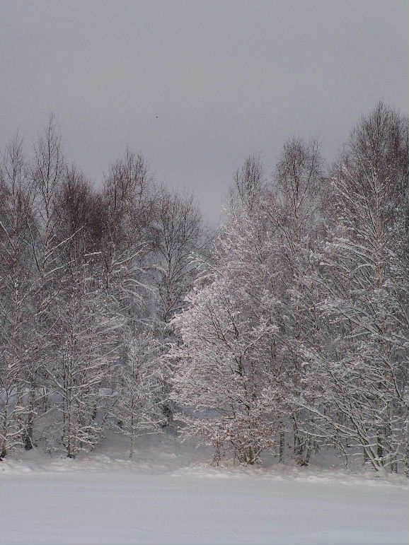 Photo: Trees in the snow, Aviemore