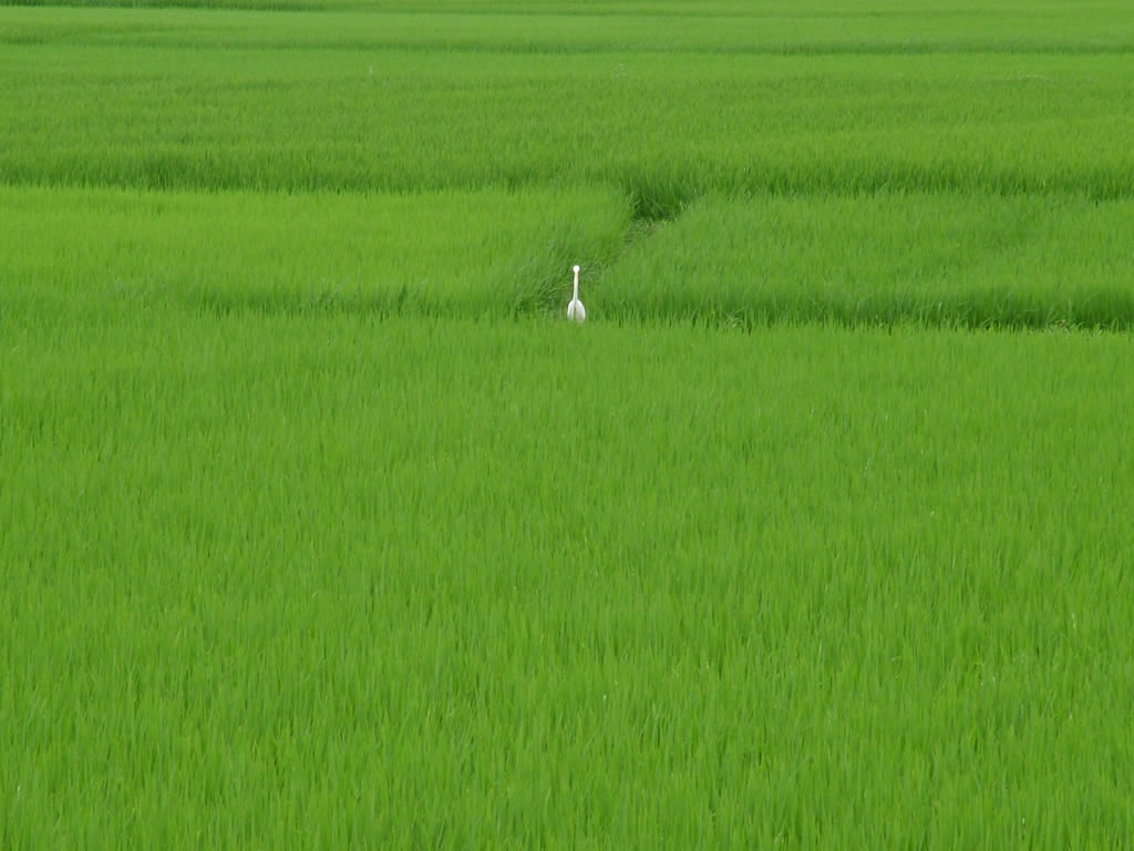 Photo: Hoi An paddy field
