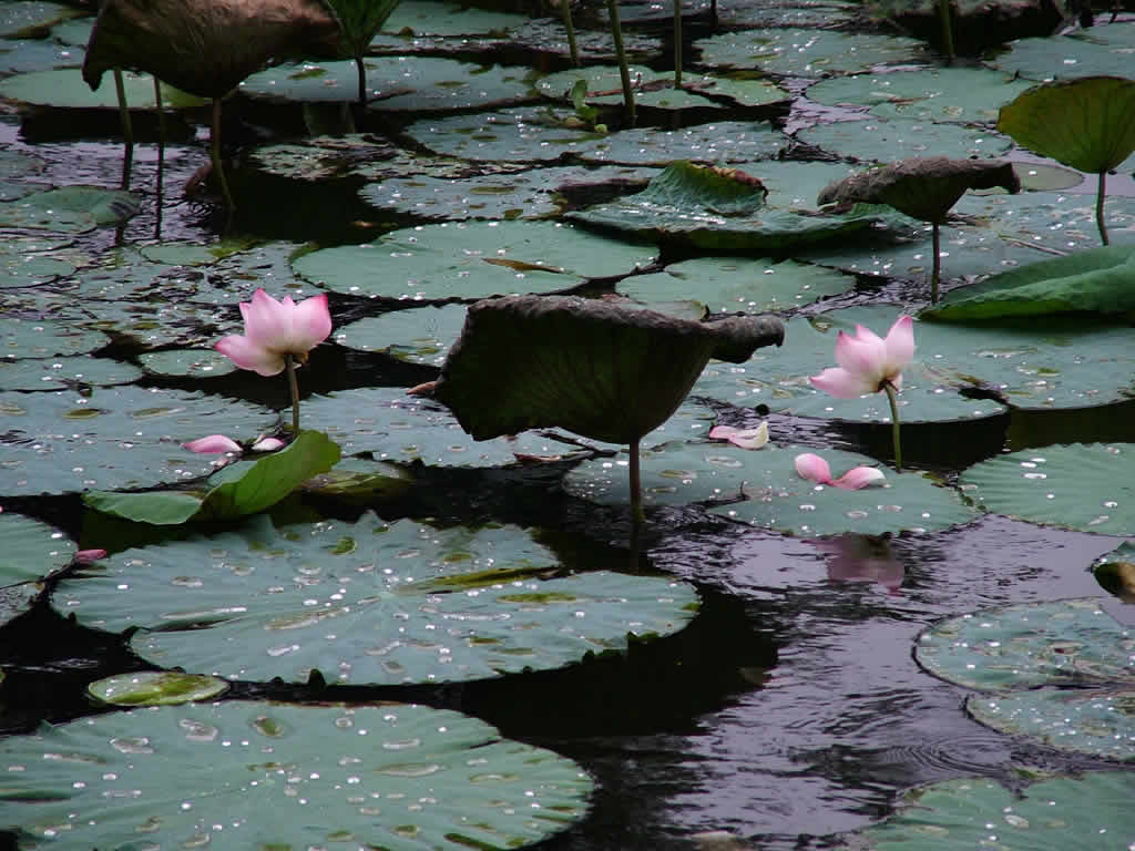 Photo: Water lillies